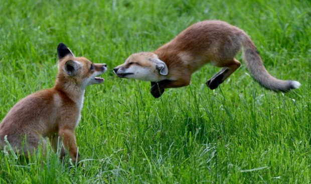 Photoshop Battle: This Jumping Fox