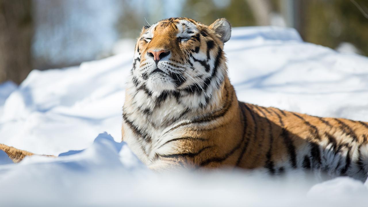 L'hiver au Zoo de Granby, c'est magique!